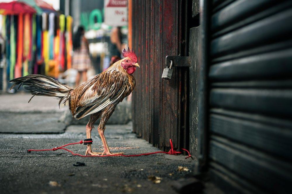 Riwayat Ayam S128